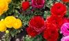 Persian Double Buttercup Flower Bulbs (15-Pack): Persian Double Buttercup Flower Bulbs (15-Pack)