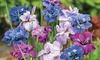 Giant Double Flowering Siberian Iris Bareroot Bulbs (3-Pack): Giant Double Flowering Siberian Iris Bareroot Bulbs (3-Pack)