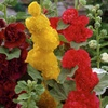 Hollyhocks Roots (5- or 10-Pack)