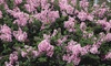 """Pre-Order: Reblooming Lilac Josee 3"""" Potted Plants (2- or 3-Pack)"""