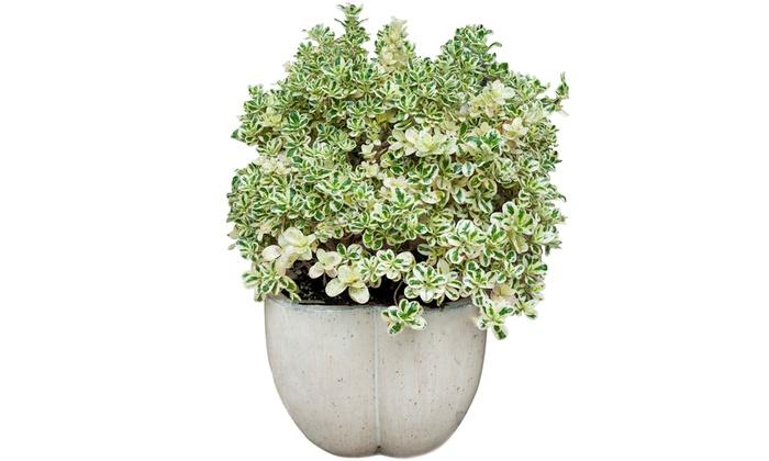 Siepe della regina in vaso groupon goods for Siepe in vaso