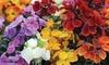 Wallflower Sugar Rush Mixed 30 Garden-Ready Plants