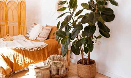 2 Ficus elastica 'Robusta'