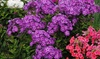 Phlox Tall Hybrid Bare Root Flower Collection (5-Pack): Phlox Tall Hybrid Bare Root Flower Collection (5-Pack)
