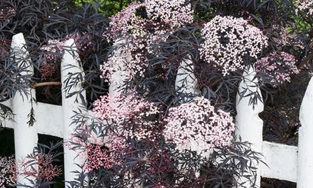 Winter-Hardy Sambucus Plant