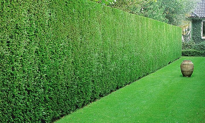 Five Leyland Cypress Hedge Plants Groupon Goods