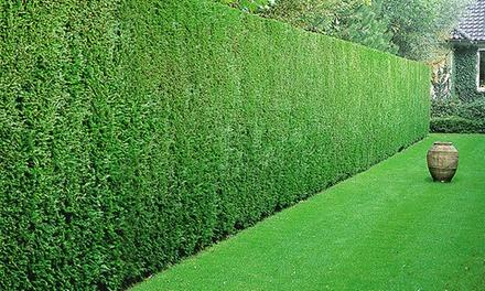 5, 10, 20, 30 or 50 Leyland Cypress Hedge Plants