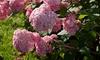Arbusto de Hortensia XL Pink Annabelle