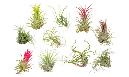 Set di Tillandsia