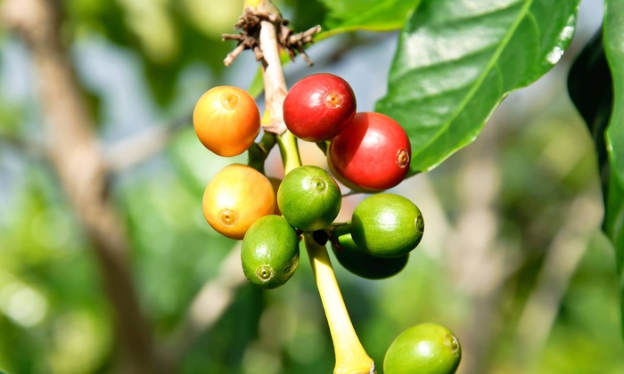 Cold Kona Brew - 3 Keiki Farms: Kona Coffee-Farm Tour with Tastings and Take-Home Coffee for Two or Four at Cold Kona Brew (Up to 39% Off)