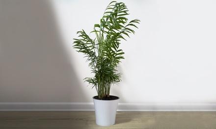 Palma tropicale Parlour Palm