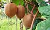 Set di 3 o 6 piante di kiwi Jenny