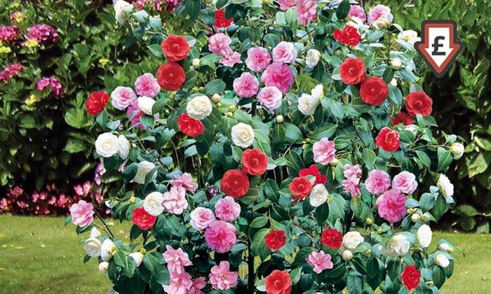Camellia japonica colores mixtos groupon goods for Cuidados camelia japonica