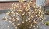 Set di piante di Bastone di San Giuseppe