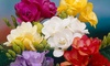 Freesia Double Mix + Bountiful Harvest Collection: Pre-Order Freesia Single and Double Bulbs (20 or 40 Bulbs)