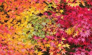 Acer Palmatum Collection