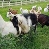 Up to 25% Off Goat Dairy Tour