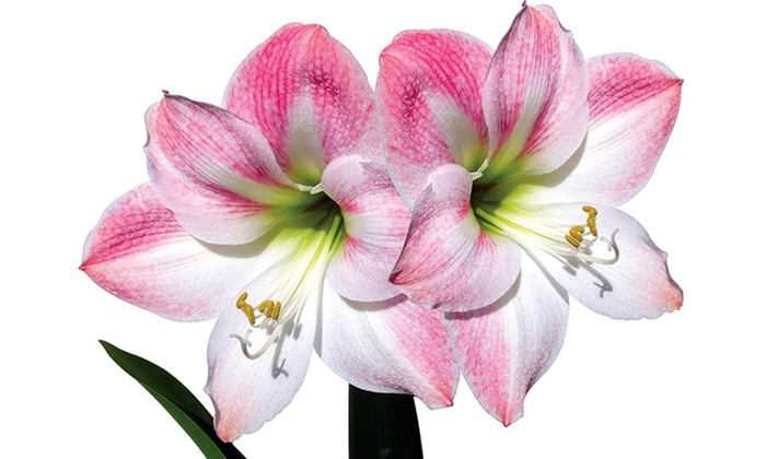 Apple Blossom Amaryllis Kit: $22 for Three-Apple Blossom Amaryllis Kit with Decorative Container ($49.99 List Price). Free Shipping and Free Returns.