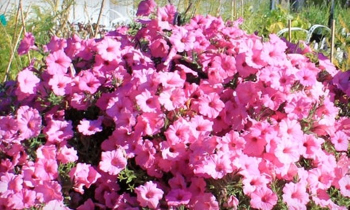 Tower Perennial Gardens - Marshall: $10 for $20 Worth of Plants, Flowers, and More at Tower Perennial Gardens