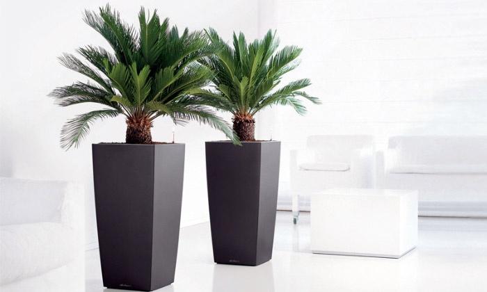 Groupon Goods Global GmbH: 2 ou 4 palmiers Cycad King Sago