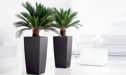 2 of 4 Cycad King Sago palmbomen vanaf 29,99 € tot 62 % korting