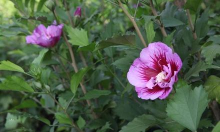 Hibiscus Syriacus Pillar Plant Collection