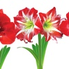 Amaryllis Bulbs: 2 Red Lion and 1 Minerva Striped (3-Pack)