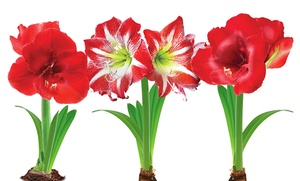 Amaryllis Bulbs: 2 Red Lion and 1 Apple Blossom : Amaryllis Bulbs: 2 Red Lion and 1 Minerva Striped (3-Pack)