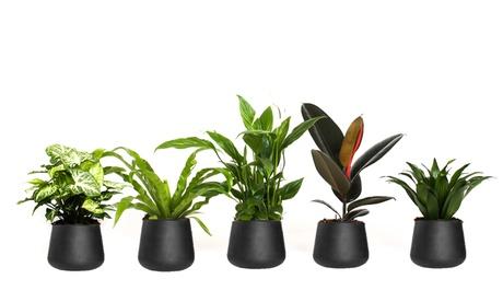 Conjunto de 5 plantas de interior purificadoras de aire