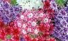 Phlox Pop Stars Mixed Plants