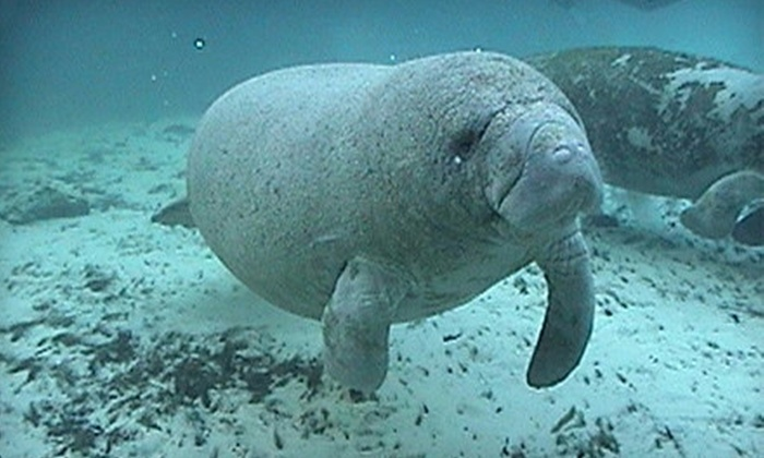 Manatee Tour and Dive - Crystal River: Manatee Tour and Snorkel-Equipment Rental for a Child or Adult from Manatee Tour and Dive in Crystal River (59% Off)