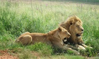 Lion Tour with Breakfast or Lunch from R143 for Two at Rietvlei Coffee Shop (Up to 54% Off)