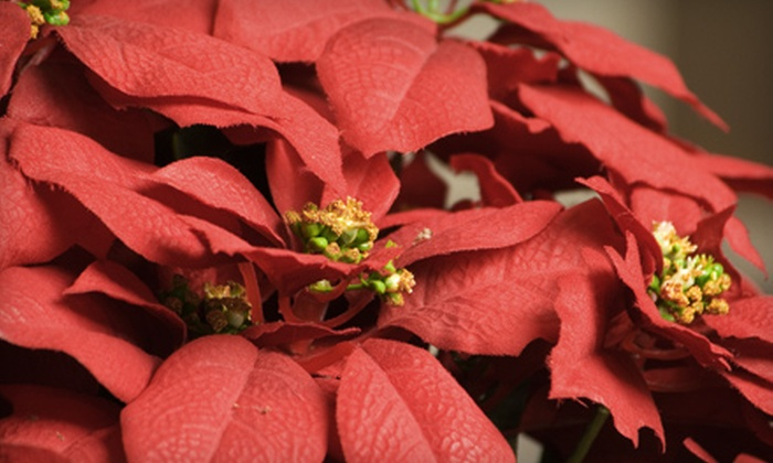 Rebecca's Flowers - Blue Star: Poinsettia or $25 for $50 Worth of Flowers and Gifts from Rebecca's Flowers in Broken Arrow (Half Off)