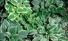 Set of 9 Assorted Hosta Plants: Set of 9 Assorted Live Hosta Plants