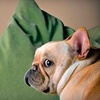 Peter Nash - Nashville: $199 for an In-Home Canine Photo Session with Peter Nash ($574 Value)