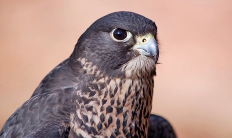$65 for a Two-Hour Falconry Experience at Hawk Manor Falconry ($150 Value)
