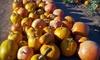 oob Corona Pumpkin Farm - Perris: Festive Family Outing or Pumpkins at Corona Pumpkin Farm in Lake Mathews