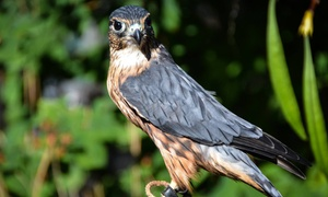 Cascades Raptor Center: Admission for Two, Four, or Six to Cascades Raptor Center (Up to 50% Off)