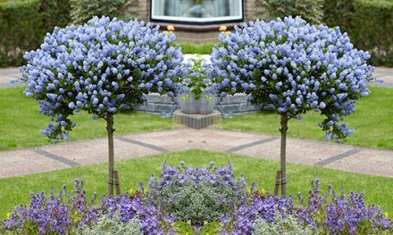 Two Patio California Lilac Trees 90cm with Optional Planters