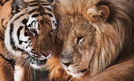львы и тигры вместе на одном фото