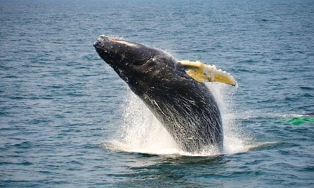 $25 for a Whale-Watching Tour from Plymouth Whale Watching (Up to $43 Value)