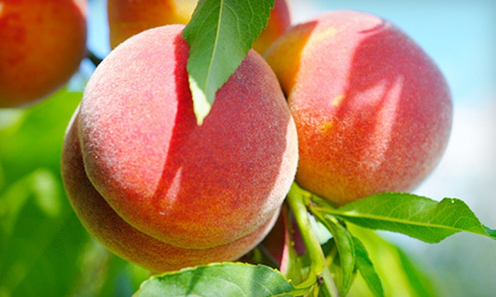 Beck's Farm - Fiddlers Creek Estates: Peach-Picking Outing for Two or Four with Baskets at Beck's Farm in Newton (Up to 56% Off)