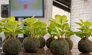 Bonsai Middle East FZ LLC: Kokedama Workshop from AED 289 at Bonsai Middle East (Up to 58% Off)