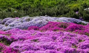 10 à 30 Phlox multicolore