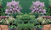 Dwarf Lilac Plant