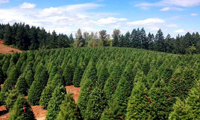 Christmas Traditions - Multiple Locations: $69 for One 7–8-foot Noble Fir Christmas Tree at Christmas Traditions ($139.95 Value). Three Locations Available.