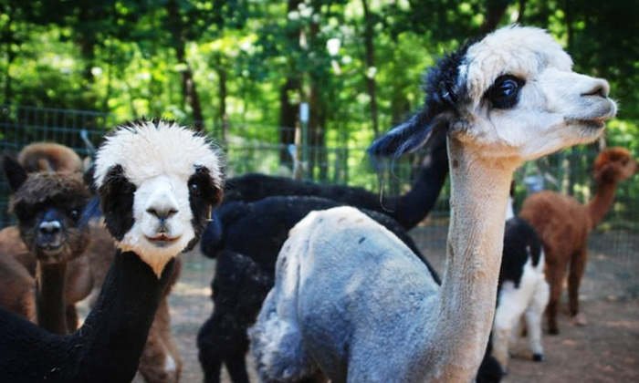 Happy Hills Alpaca Farm - Monroe: Farm Tour and Picnic Snacks for a Child or Adult at Happy Hills Alpaca Farm (Up to 46% Off)