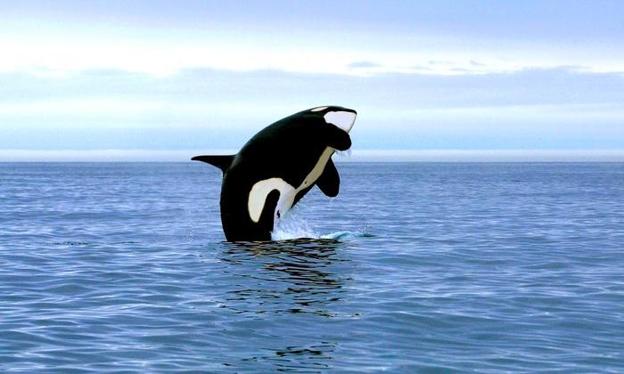 Puget Sound Express - Port Townsend: $49.50 for an All-Day San Juan Island Whale-Watching Tour from Puget Sound Express ($98.50 Value)