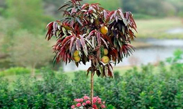Choose From The Following Options For Crimson Leaf Patio Peach Tree  Distributed By Gardening Express: