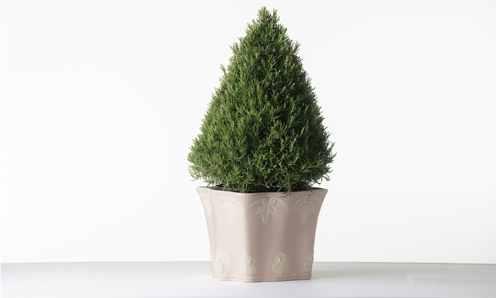 Rosemary Christmas Tree Home Depot.Holiday Rosemary Topiary Tree